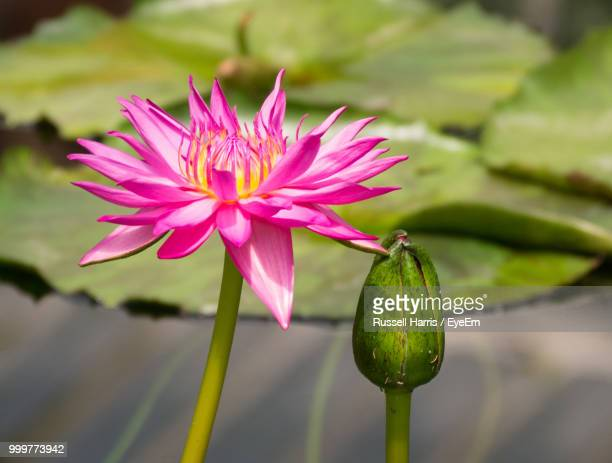 close-up of pink lotus water lily - lily harris photos et images de collection