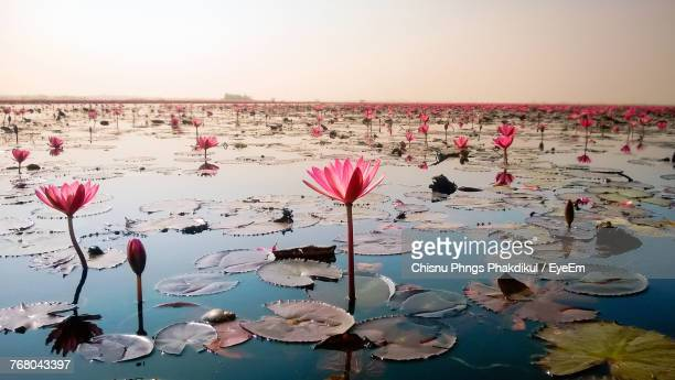 close-up of pink lotus water on beach against sky - fiore di loto foto e immagini stock