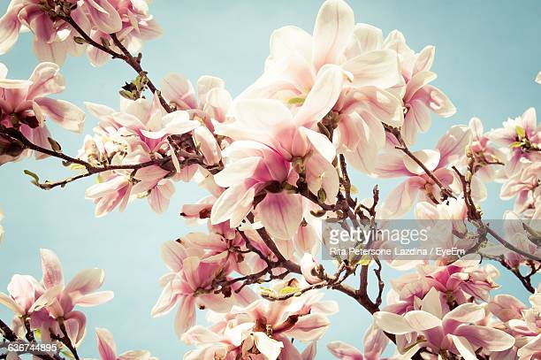 Close-Up Of Pink Magnolia Flowers Against Sky
