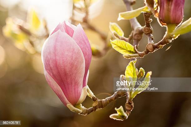 Close-Up Of Pink Magnolia On Branch