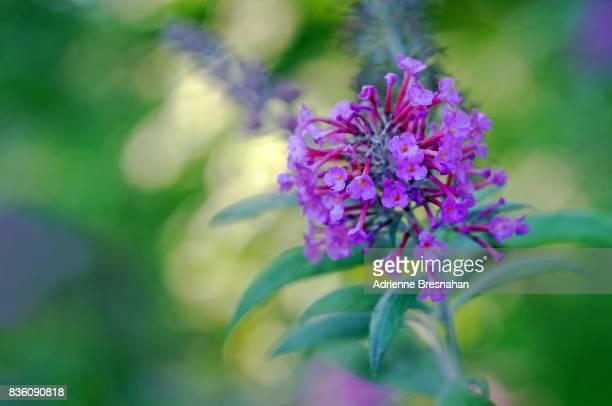 Close-up of Pink Milkweed