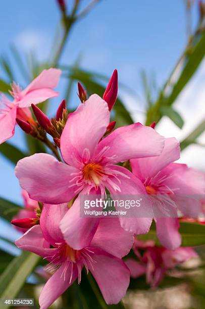 Oleander stock photos and pictures getty images closeup of pink oleander flowers a poisonous eurasian shrub in roseau on the caribbean island of mightylinksfo