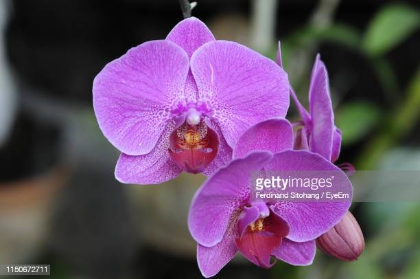 close-up of pink orchid flower - orchid stock pictures, royalty-free photos & images