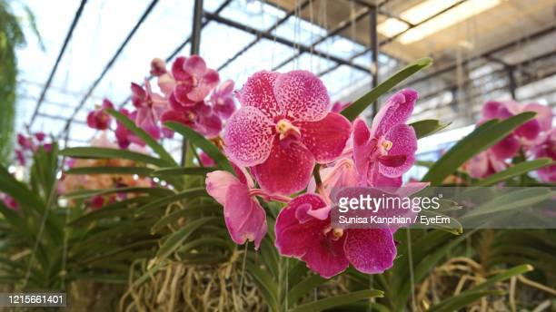 close-up of pink orchid flowers - vanda stock pictures, royalty-free photos & images