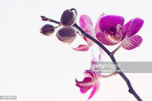 close-up of pink orchids against white background - orchid flower stock pictures, royalty-free photos & images