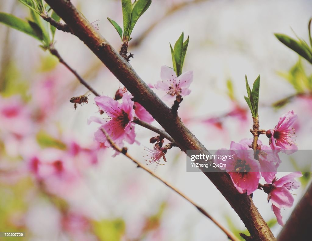 Close-Up Of Pink Peach Blossoms Blooming Outdoors : Stock Photo