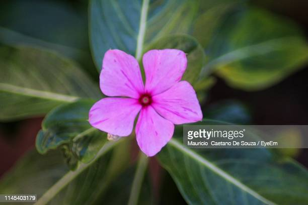 close-up of pink periwinkle blooming at park - mauricio caetano de souza stock photos and pictures
