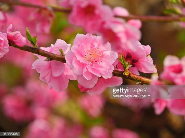 Close-Up Of Pink Plum Blossom Blooming Outdoors