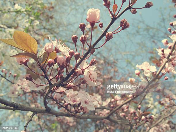 Closeup of pink plum blossoms on tree branch