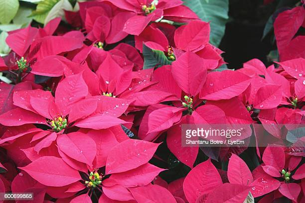 Close-Up Of Pink Poinsettias Growing In Garden