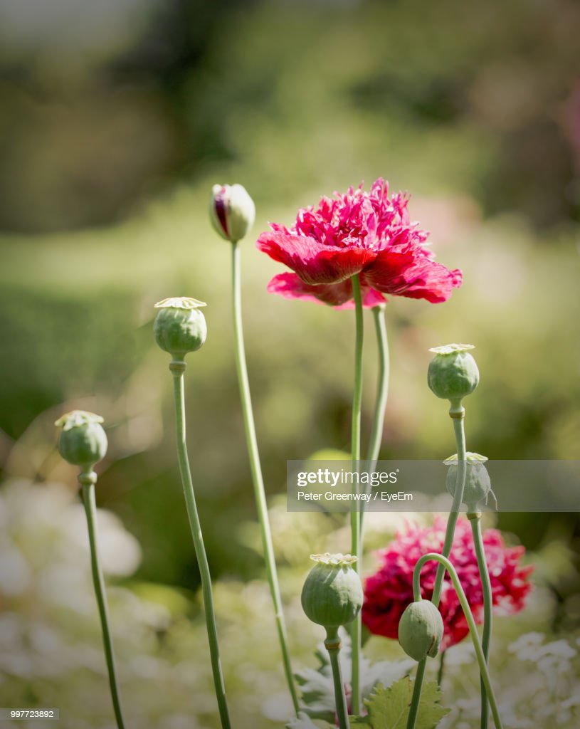 Closeup Of Pink Poppy Flowers Stock Photo Getty Images
