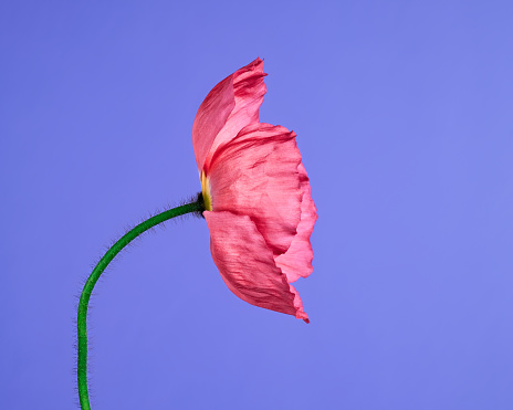 Close-up of pink poppy on lavender background - gettyimageskorea