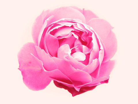 Close-Up Of Pink Rose Against White Background - gettyimageskorea