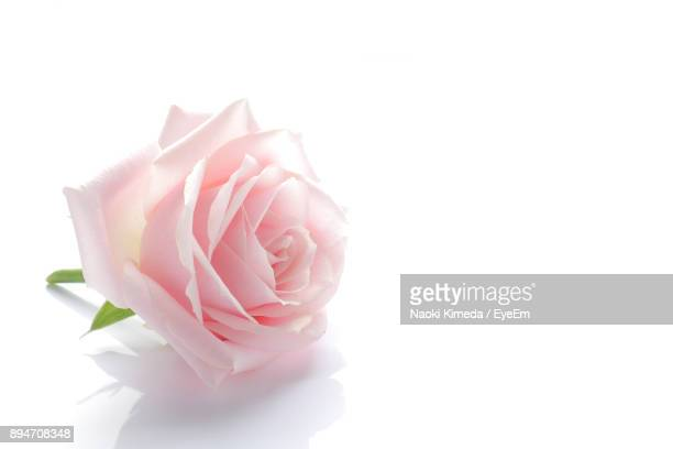 close-up of pink rose against white background - pink flowers stock pictures, royalty-free photos & images