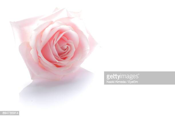 close-up of pink rose against white background - rose photos et images de collection