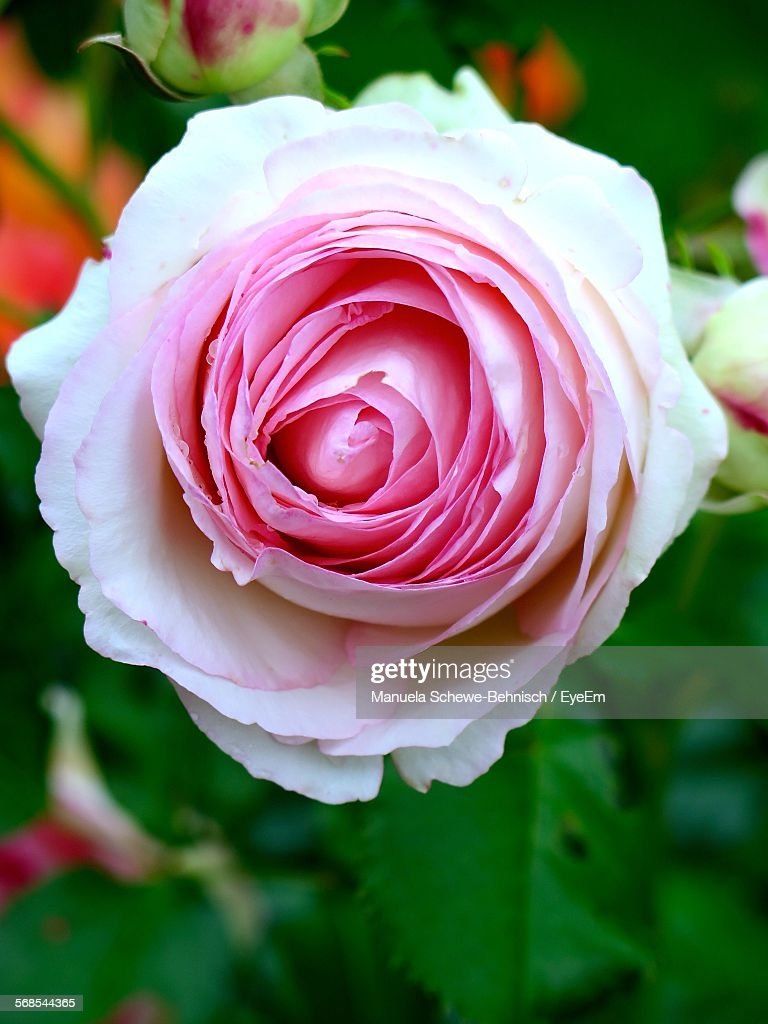 Close-Up Of Pink Rose Blooming At Park : Stock Photo