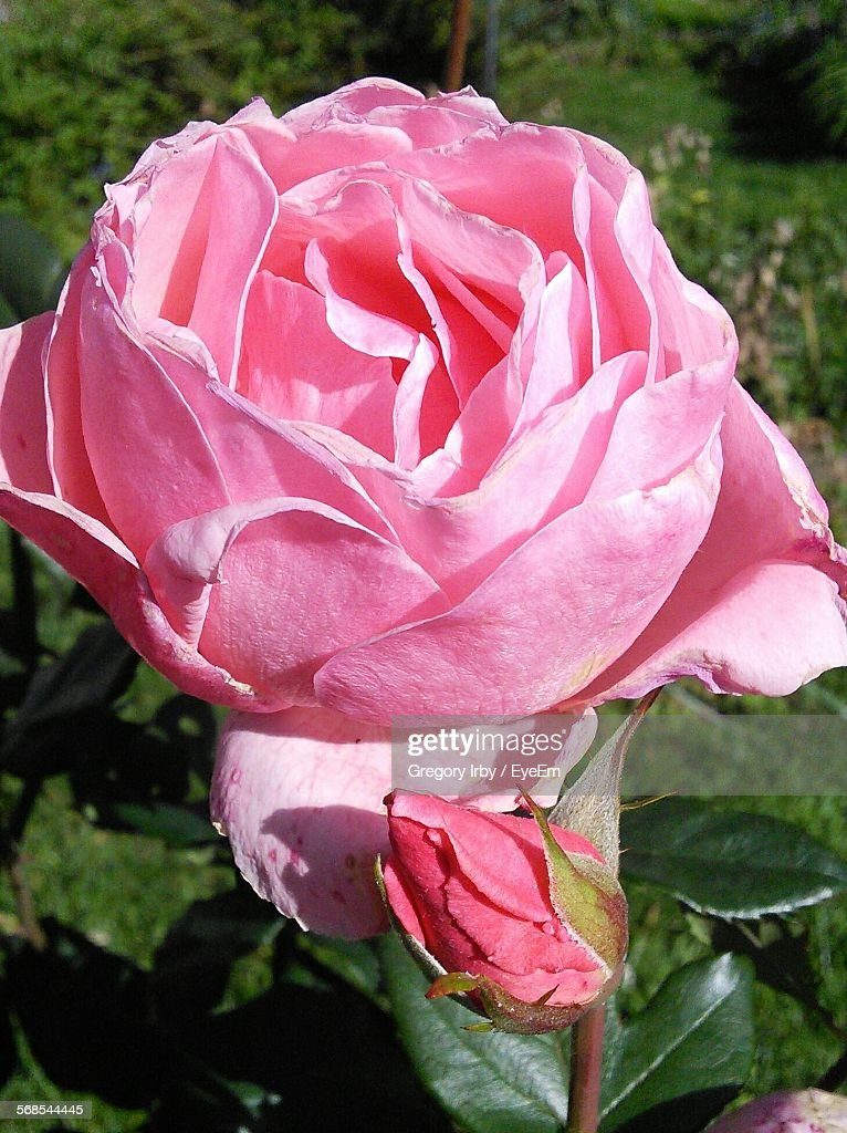 Close-Up Of Pink Rose Blooming In Park : Stock Photo