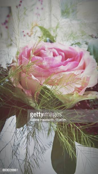 close-up of pink rose blooming outdoors - sabine hauswirth stock pictures, royalty-free photos & images