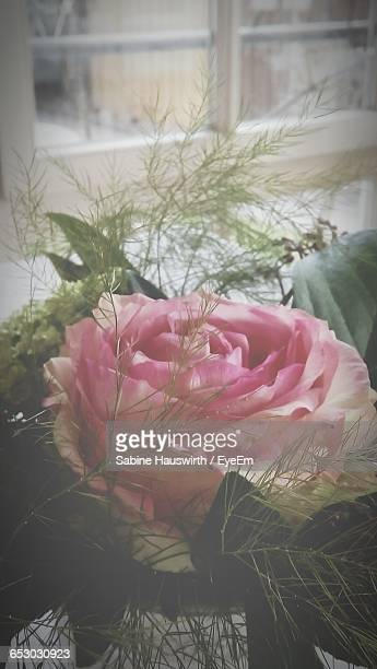 close-up of pink rose blooming outdoors - sabine hauswirth stock photos and pictures