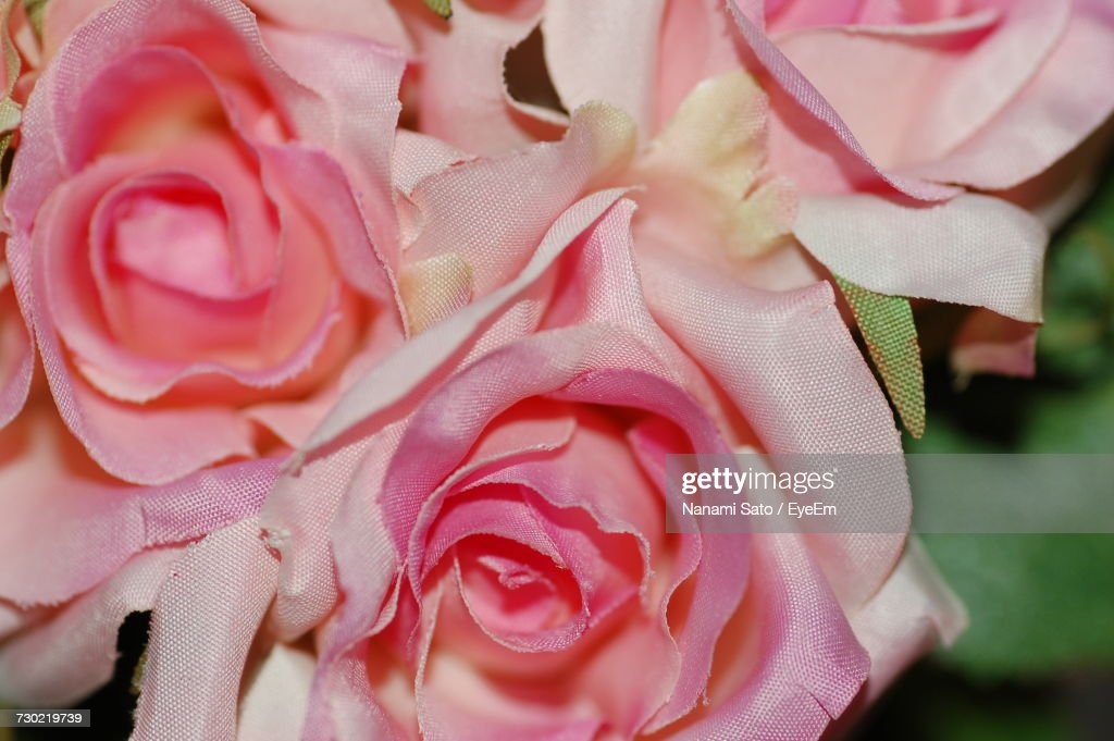 Close-Up Of Pink Rose Blooming Outdoors : Stock Photo