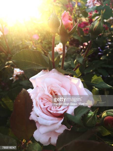 close-up of pink rose blooming outdoors - rosaceae stock photos and pictures