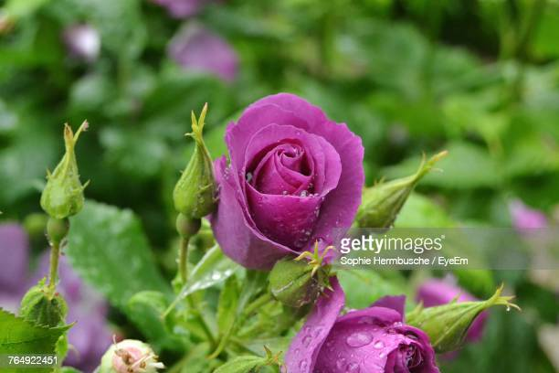 close-up of pink rose blooming outdoors - sophie rose bildbanksfoton och bilder