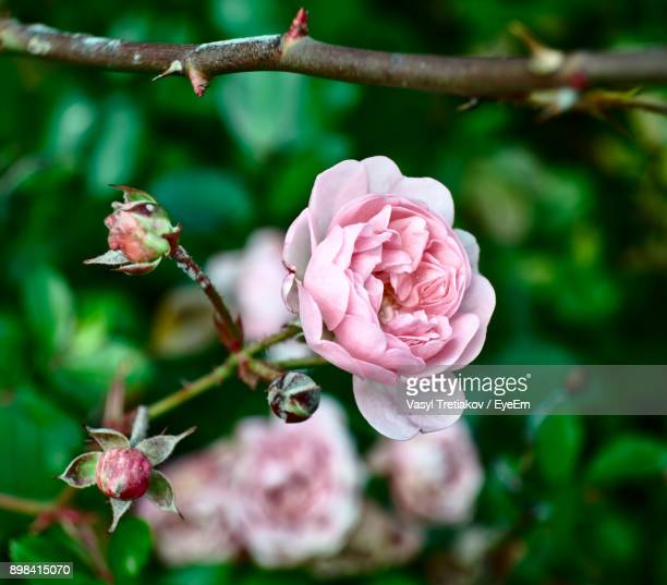 close-up of pink rose blooming outdoors - sofia rose stock photos and pictures