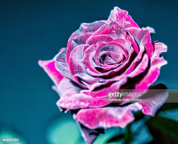 close-up of pink rose blooming outdoors - flowering plant stock photos and pictures