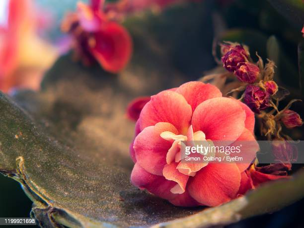 close-up of pink rose flower - colbing stock pictures, royalty-free photos & images