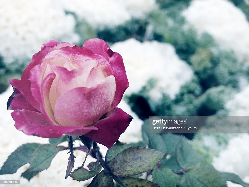 Close-Up Of Pink Rose Flower : Foto stock