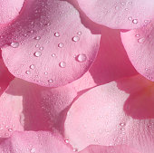 fragrant pink rose petals with water