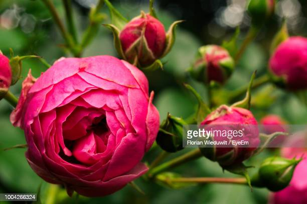 close-up of pink rose - bud stock pictures, royalty-free photos & images