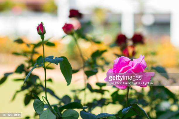 close-up of pink rose - eyeem stock pictures, royalty-free photos & images