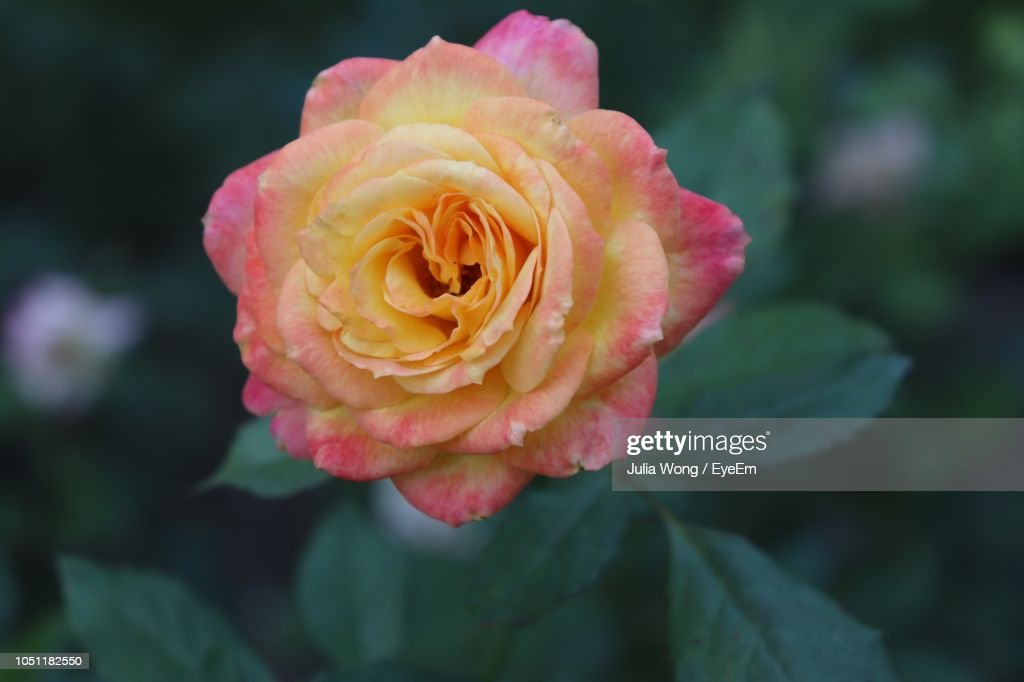 Close-Up Of Pink Rose : Stock Photo