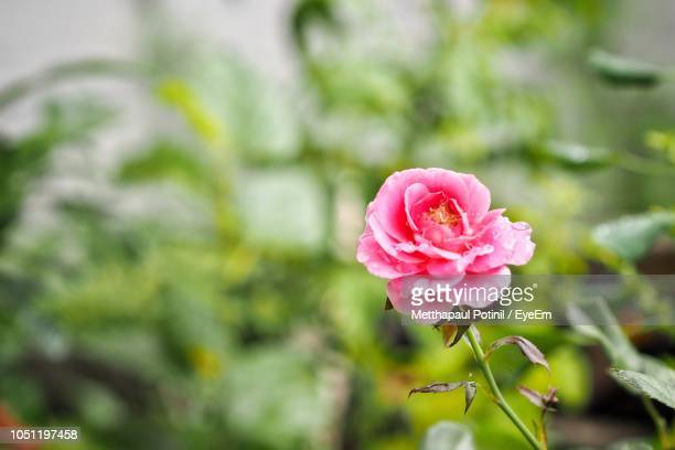 close-up of pink rose - metthapaul stock photos and pictures