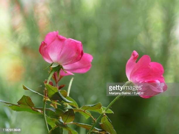 close-up of pink rose - marijana stock pictures, royalty-free photos & images
