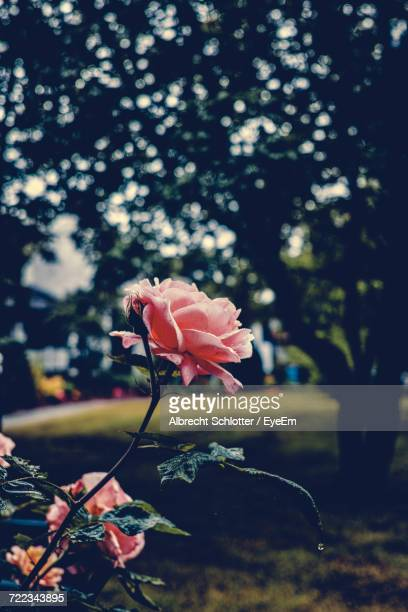 close-up of pink rose - albrecht schlotter foto e immagini stock