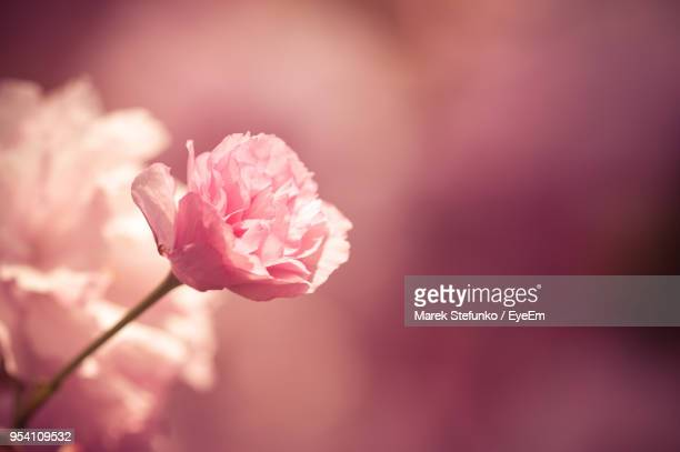 close-up of pink rose - marek stefunko stock photos and pictures
