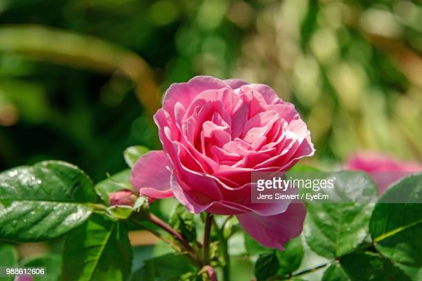 close-up of pink rose - jens siewert stock-fotos und bilder
