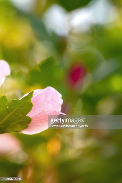 close-up of pink rose plant - steve guessoum stockfoto's en -beelden