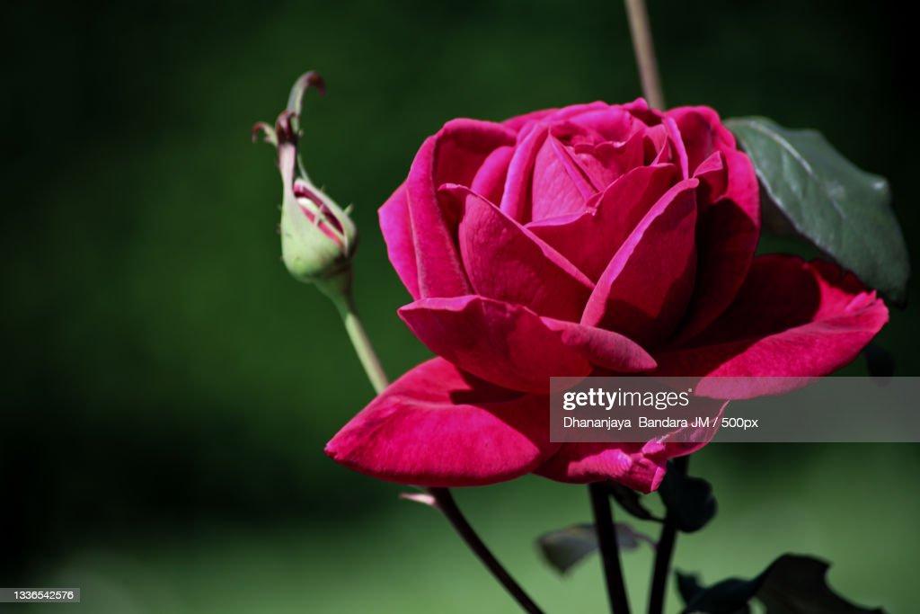 Closeup Of Pink Roselondonunited Kingdomuk High-Res Stock ...