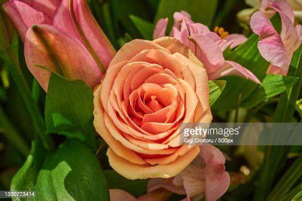 close-up of pink rose,northampton,united kingdom,uk - northampton stock pictures, royalty-free photos & images