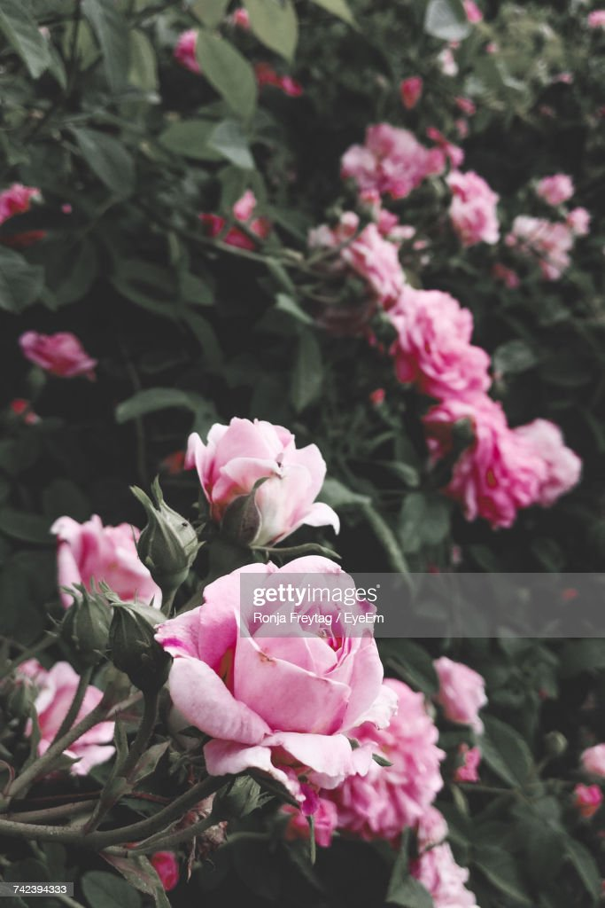 Close-Up Of Pink Roses Blooming Outdoors : Stock Photo