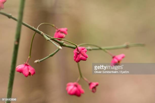 close-up of pink roses blooming outdoors - olivier schittenhelm photos et images de collection