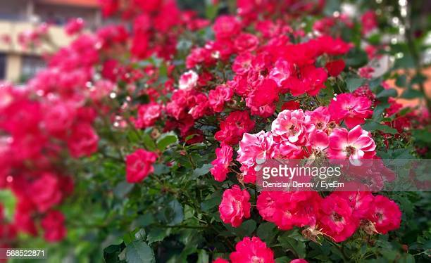 close-up of pink roses in garden - sofia rose stock photos and pictures