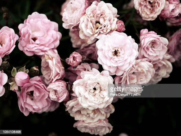 close-up of pink roses - flower head stock pictures, royalty-free photos & images