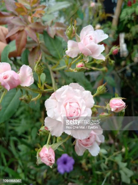 close-up of pink roses - frische stockfoto's en -beelden
