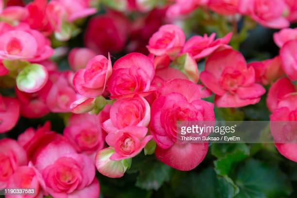 close-up of pink roses - begonia stock pictures, royalty-free photos & images