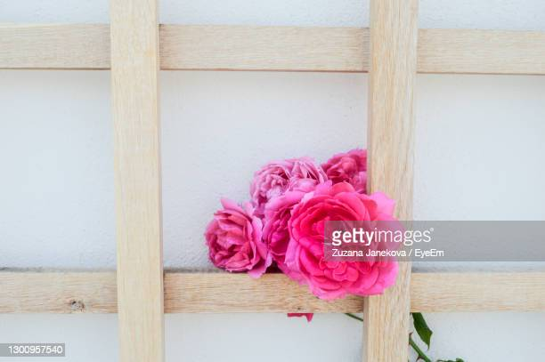 close-up of pink roses - millennial pink stock pictures, royalty-free photos & images