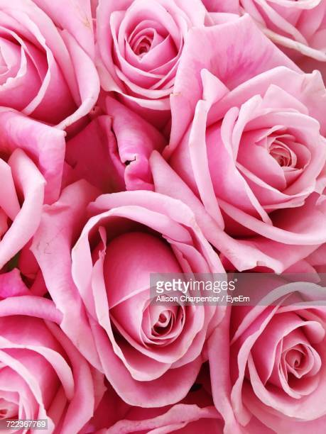 close-up of pink roses - rose photos et images de collection